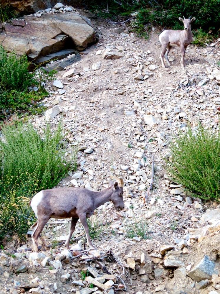 Mountain goats in San Gabriels on way to Kratka