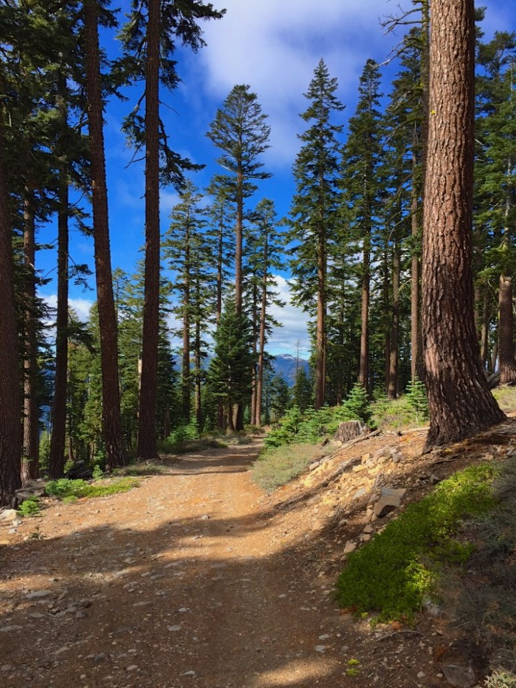 An easy trail to hike along surround by pines